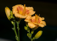 2007 Cobb County Daylily Society Show